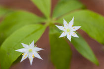 Blooming starflower, Trientalis borealis, in a Durham, New H... by Danita Delimont