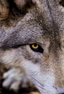 USA, New Jersey, Columbia, Lakota Wolf Preserve by Danita Delimont