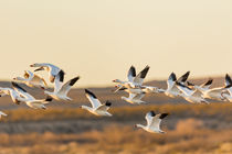 Snow and Ross's Geese flying out to feed at dawn by Danita Delimont