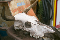 Close up of an old cow skull, Tucumcari, New Mexico, USA von Danita Delimont