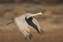 Sandhill Crane in flight, New Mexico von Danita Delimont