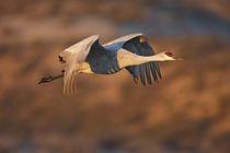 Sandhill Crane in flight, New Mexico by Danita Delimont