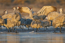 Sandhill Crane landing at roost, New Mexico by Danita Delimont
