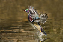 Wood Duck male takeoff from river by Danita Delimont
