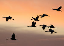 Sandhill Cranes flying at sunset, Bosque del Apache National... by Danita Delimont