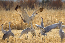 Sandhill Cranes in the corn fields, Grus canadensis, Bosque ... von Danita Delimont