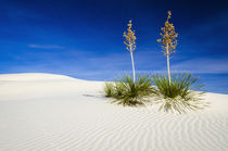 Soaptree Yucca and dunes, White Sands National Monument, New Mexico von Danita Delimont