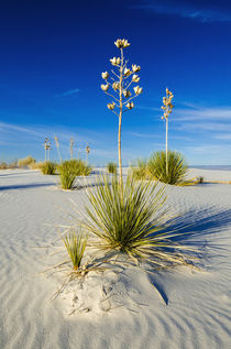 Soaptree Yucca and dunes, White Sands National Monument, New Mexico by Danita Delimont
