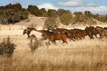 Herd of horses running on dry grassland and brush by Danita Delimont