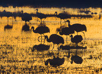 Sandhill Cranes in a wetland at sunset, New Mexico USA by Danita Delimont