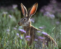 Blacktail Jackrabbit, New Mexico, USA by Danita Delimont