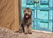 Portrait of Lagotto Romagnolo in front of blue door. by Danita Delimont