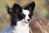 Portrait of a Papillon sitting in the wind. von Danita Delimont