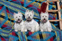 Three Westies sitting on Southwestern blanket . von Danita Delimont
