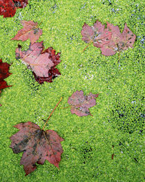 USA, New York, Adirondack Park and Preserve, Red Maple Leave, Duckweed by Danita Delimont