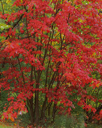 USA, New York, Adirondack Park, Red Maple von Danita Delimont