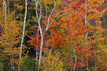 Autumn foliage at Ausable River Area, Adirondack State Park,... von Danita Delimont