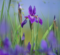 Blue flag iris, Finger lakes District, New York. by Danita Delimont