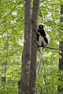 Coquereli in outdoor enclosures at Duke Lemur Center. von Danita Delimont