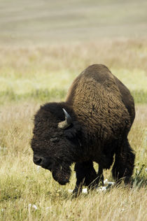 Bison of the Northern Plains by Danita Delimont