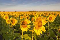 Sunflower field in morning light in Michigan, North Dakota, USA by Danita Delimont