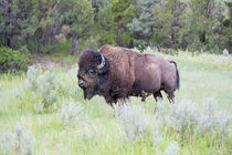 USA, North Dakota, Theodore Roosevelt National Park, Bull bison. by Danita Delimont
