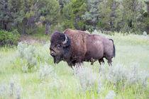 USA, North Dakota, Theodore Roosevelt National Park, Bull bison. von Danita Delimont