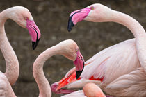 Greater flamingos von Danita Delimont