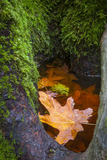 Floating Maple Leaf, Oregon, USA. von Danita Delimont