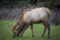Young elk, Cervus Elaphus feeding in a grassy area near Cann... von Danita Delimont