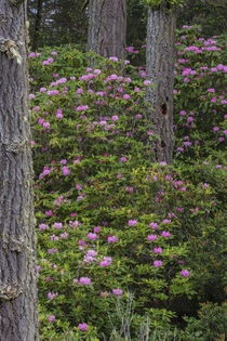 Rhododendrons flowering in the Siuslaw National Forest near ... von Danita Delimont