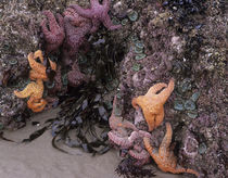 OR, Oregon Coast, Bandon, Ochre sea stars and green sea anemones by Danita Delimont