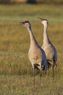Sandhill Cranes Calling by Danita Delimont