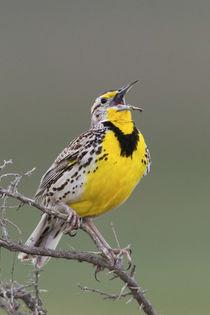 Western Meadow Lark Singing by Danita Delimont