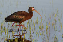 White-faced Ibis by Danita Delimont