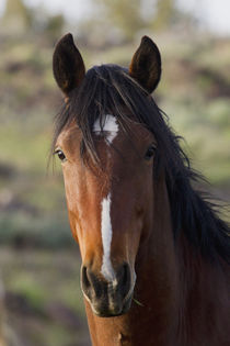 Wild Horse, Steens Mountains by Danita Delimont