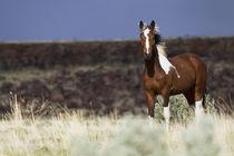Wild Horse, Steens Mountains von Danita Delimont