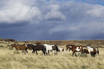 Wild Horse, Steens Mountains, thunderstorm by Danita Delimont