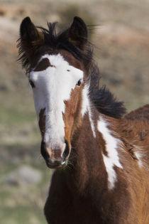 Wild Horses von Danita Delimont