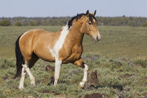 Wild Horses, Strutting Stallion von Danita Delimont