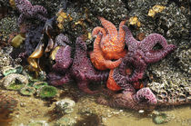 Tide Pool, Starfish and Sea Anemone, Cannon Beach, Pacific O... by Danita Delimont
