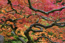 Japanese Maple with autumn foliage at Portland Japanese Gard... by Danita Delimont