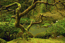 Moss covered, Japanese Maple, Portland Japanese garden,, Por... by Danita Delimont
