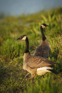 Canada Geese by Danita Delimont