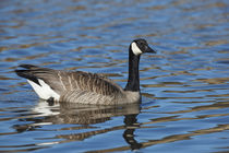 USA, Oregon, Baskett Slough National Wildlife Refuge, Canada Goose . by Danita Delimont