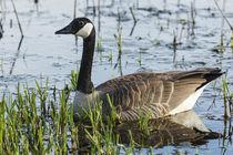 Canada Goose von Danita Delimont