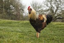 USA, Oregon, Shedd, Thompson Mills State Historic Site, rooster. von Danita Delimont