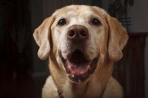 Labrador Retriever by Danita Delimont