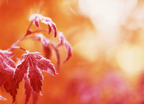 USA, Oregon, View of frost Japanese maple leaf, close-up von Danita Delimont