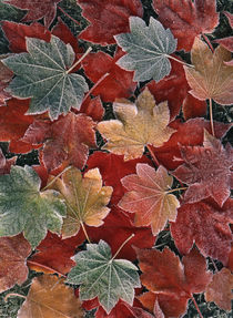 USA, Oregon, View of autumn maple leaves, close up by Danita Delimont